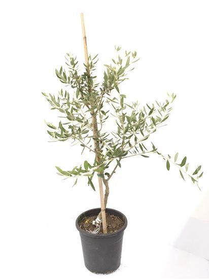 תמונה של עץ זית