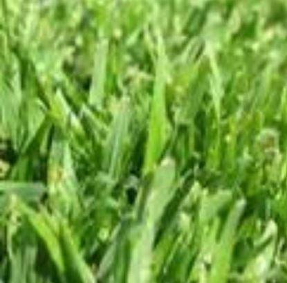 """תמונה של דשא דרבן (מחיר למ""""ר)"""