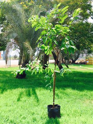 תמונה של עץ גויבה