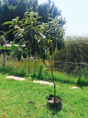 תמונה של עץ שסק