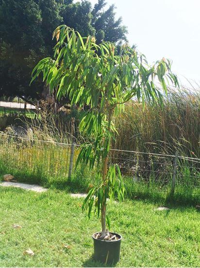 תמונה של עץ מנגו
