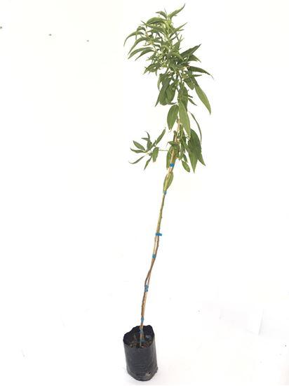 תמונה של עץ שקד