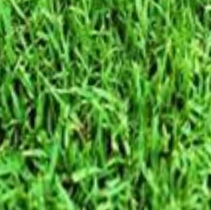 """תמונה של דשא פספולום (מחיר  למ""""ר)"""