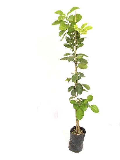 תמונה של עץ פומלה לבנה