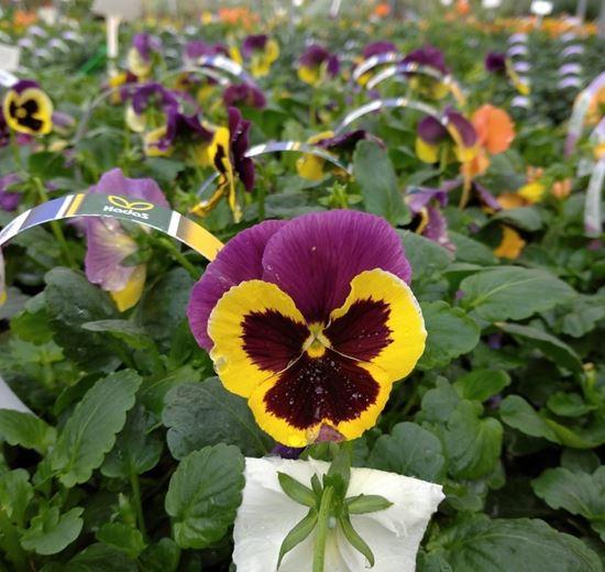 תמונה של אמנון ותמר פרח גדול שישייה