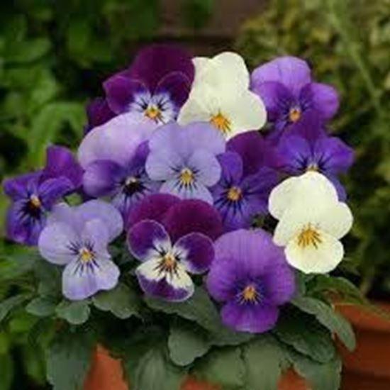 תמונה של אמנון ותמר פרח קטן שישייה